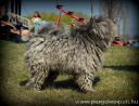 Grey male puli